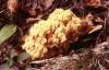 gelbwerdendekoralle1